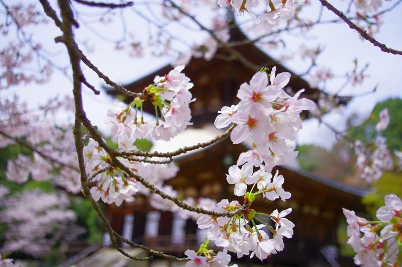 [2013花見] 櫻名所百選 – 和歌山 根來寺