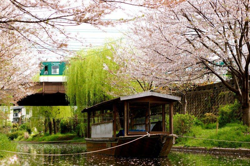 [2015櫻花] 京都 伏見十石舟 小船流水櫻花