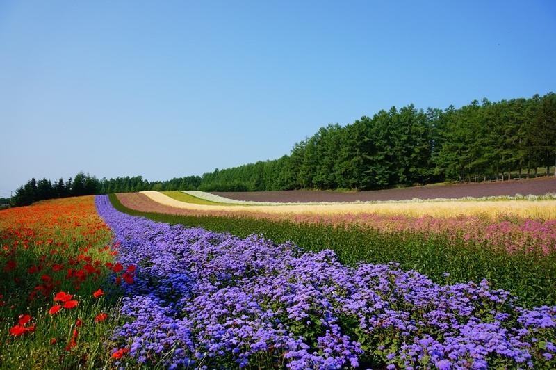 [北海道] 美瑛.富良野 夏季交通規劃 (2019年版)
