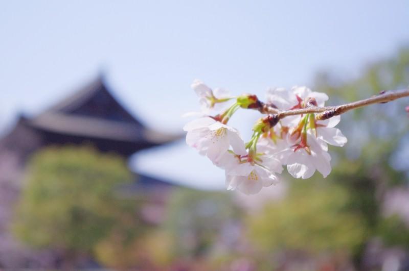 [日本] 2013 關西賞櫻全紀錄 (京都 奈良 和歌山)
