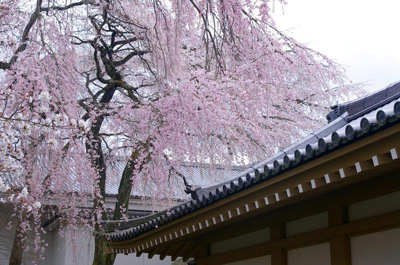 [2013花見] 京都 櫻花百選 – 醍醐寺
