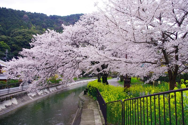 [2013花見] 京都 – 山科疏水 毘沙門堂