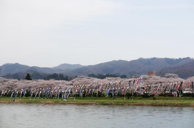 [2015 櫻花] 東北三大櫻花名所 岩手 北上展勝地